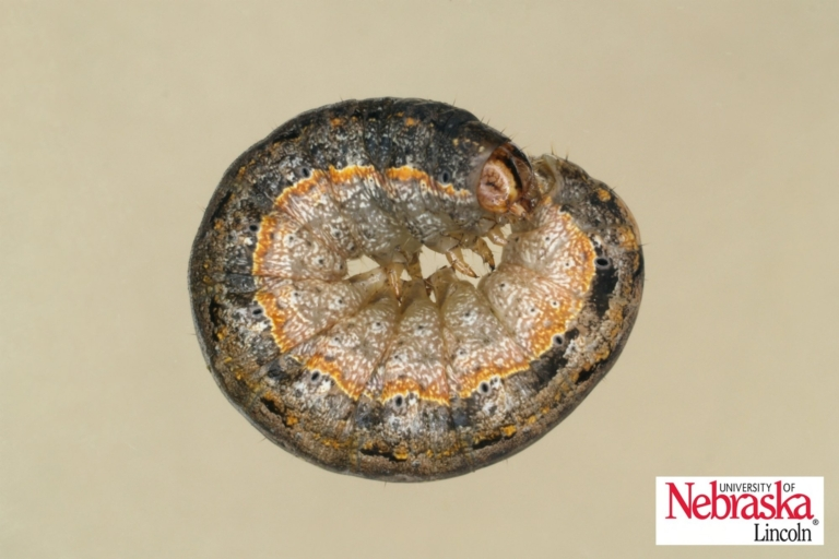 variegated cutworm