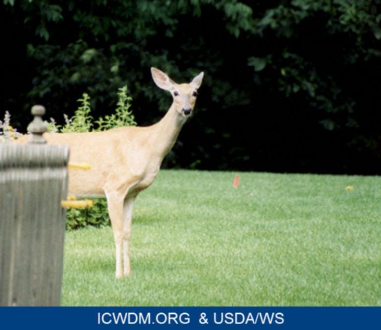 White-tailed deer in backyard