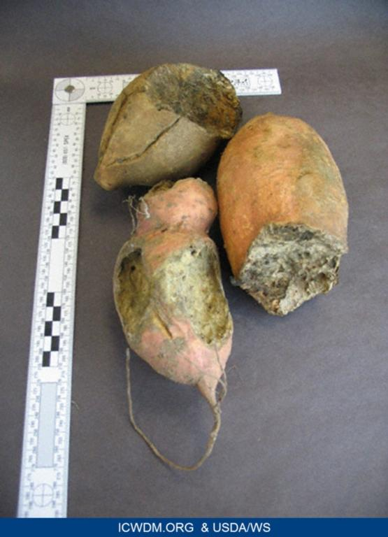 Sweet potatoes with gnaw damage by pocket gopher