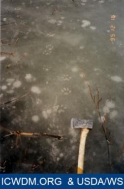 Bobcat tracks on ice