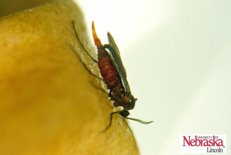 Hessian fly