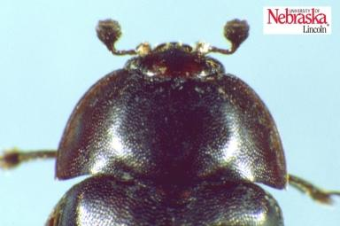 small hive beetle