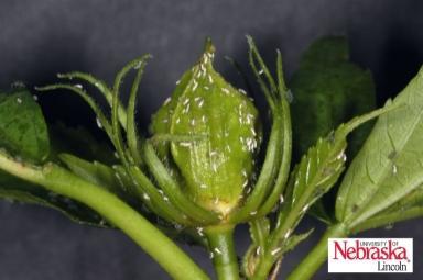 melon aphid