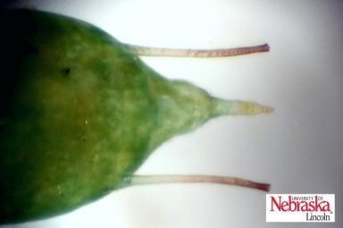 potato aphid