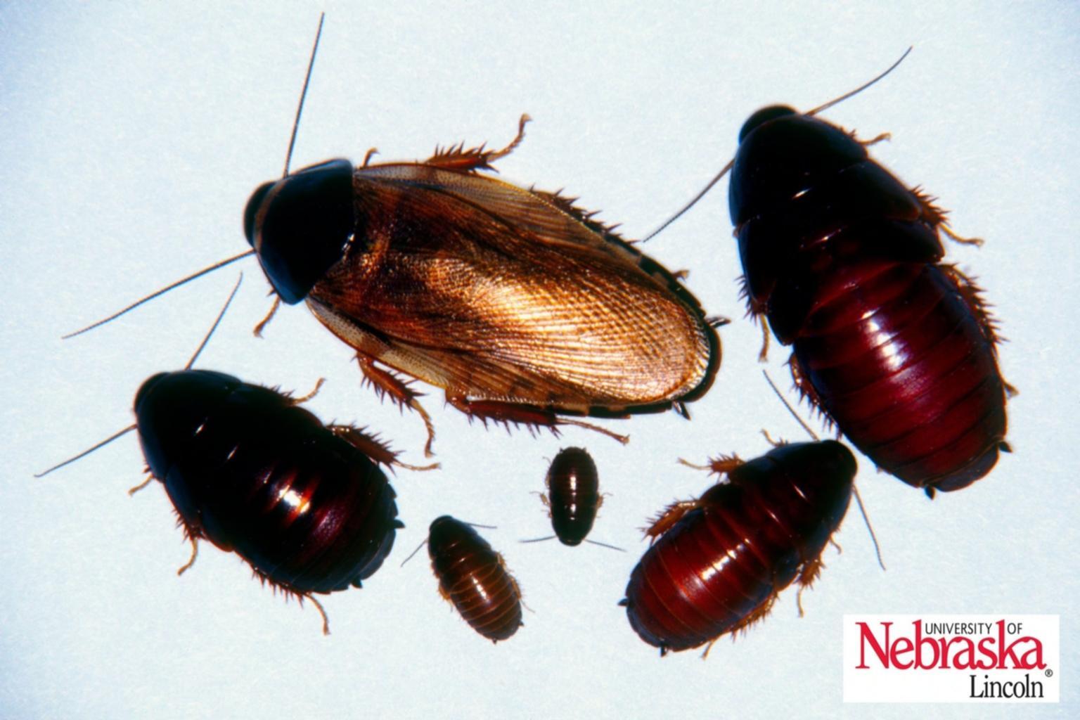 Surinam cockroach